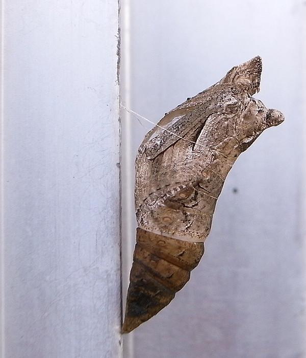 蝶のサナギの抜け殻