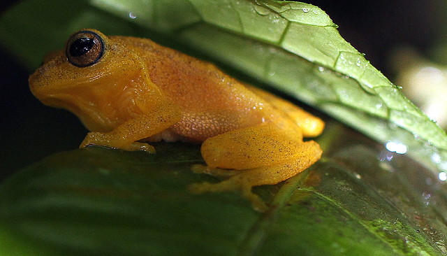 Blue eyed prince / Bush Frog