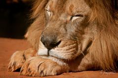 soninho ao sol... (LuFumagalli) Tags: zoo feline wildlife lion felino l theking leo lyinginthesun 2011 outdoorphotography orei animaisselvagens leo fotografiaaoarlivre lufumagalli deitadoaosol