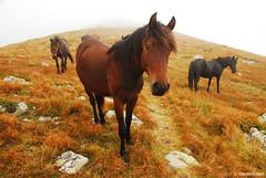 the wild horses of the Balkan (.:: Maya ::.) Tags: wild horses horse mist mountain nature landscape outdoor reserve bulgaria  balkan  stara  planina        mayaeye  mayakarkalicheva   wwwmayaeyecom