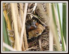 """5-Unos le llaman el demonito, otros el trabajador, otros el constructor y yo prefiero llamarlo """"El enanito reparador de suenos"""".No tengo dudas,es el avecilla mas dificil de capturar de todo Chile!!Trabajador-Phleocryptes melanops-Wren-like rushbird. Chile (Cimarrn Mayor !!!7,000.000 DE VISITAS, GRACIAS!!) Tags: chile naturaleza bird fauna ave libre oiseaux montaas panta trabajador vregion dominicano lagunacartagena ordenpasseriformes canoneos7d wrenlikerushbird canon7d libertee cimarronmayor telefoto700 chile31 fliafurnariidae subfliafurnariinae nombrecomntrabajador cientificophleocryptesmelanops"""
