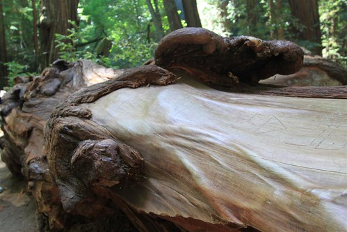 The skin of redwood tree at Muir Woods, San Francisco