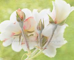 Trio (NaturalPhotographySpa) Tags: trio rosethorns whiterose texturedbackground closeuprose threeroses frenchkisstexture