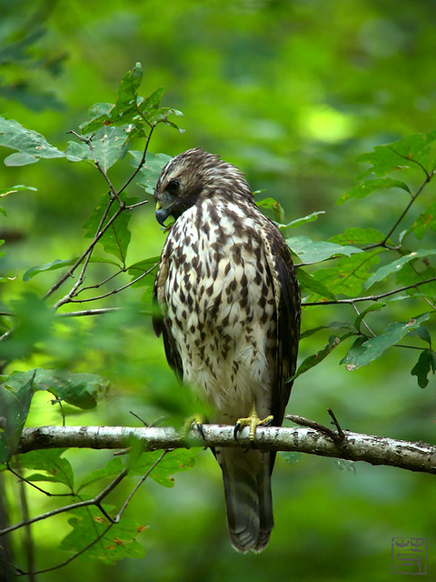 Young Red-shouldered Hawk, Sep 2011