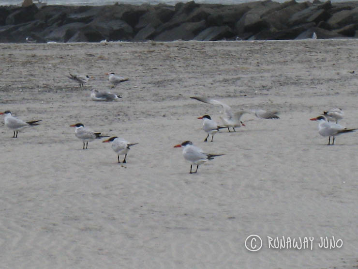 Shore birds on Wildwood Crest