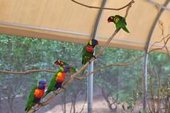 IMG_1109 (bhust29) Tags: birds parrots lorikeets