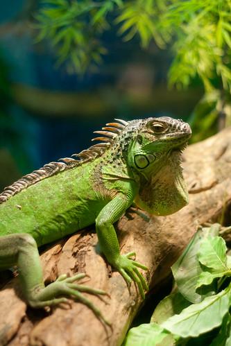 iguana (1 of 1)