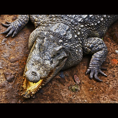 Crocodile portrait - -clicking-