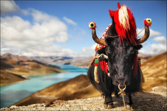 Trend-Setter (i ea sars) Tags: china travel decorations yak sky naturaleza sunlight lake reflection nature water sunshine animal clouds canon river landscape lights clothing highway scenery asia sad friendship turquoise traditional natur dream scenic culture photojournalism surreal sunny roadtrip tibet holy cielo nubes 5d traveling tamron lhasa priroda f28 abuse shigatse abused decorated chained gyantse lasa tamron2875mm  yamdrok yamdroktso tamronspaf2875mmf28 canoneos5d obloha 2875mm yumtso tamron2875mmf28  friendshiphighway gyangtse tamronspaf2875mmf28xrdildasphericalif canoneos5dmarkii yumco yamdrokyumtso 5dmarkii 5dii 5dmkii canoneos5dmkii yamzhog