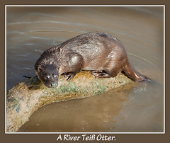 A River Teifi Otter.. (Andy Short's Nature Photography.) Tags: water speed movement colours wildlife otter greatphotographers supershot thegalaxy riverteifi specanimal nikond90 flickraward alittlebeauty naturesgreenpeace everythinggoodinnature onlythebestofnature gearandmebronze