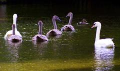 Together (* RICHARD M (Over 5 million views)) Tags: nature water birds reflections wildlife lakes swans ornithology southport cygnets botanicgardens muteswans merseyside sefton cygnus churchtown