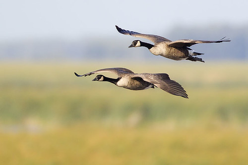 Oak Hammock Incoming Geese by Jeff Dyck