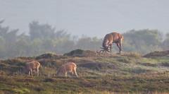 Red deer's of Hanstholm... (Rasmus_hald) Tags: canon reddeer nationalparkthy 1dmkiv ef400mmf28isusm extenderef20xiii
