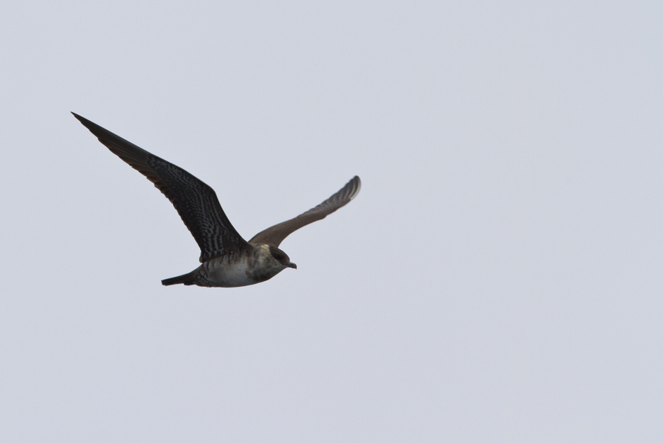 092411_bird_parasiticJaeger