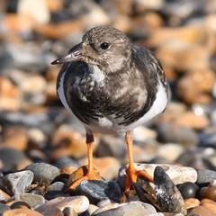 Turnstone (Dan van Orsouw) Tags: england bird beach downs bay kent united kingdom september 27 herne 27th turnstone 2011 turnstones
