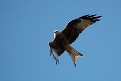 2011-09-27 Red Kite 013 (PeaTJay) Tags: birds pigeons gulls birdsofprey redkite carlsbirdclub