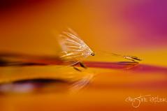 End of a dance.... (Christine Kapler / PASSED AWAY) Tags: colour reflection dandelion seeds waterdrops dandelionseeds nikkor105mmf28vr nikond300