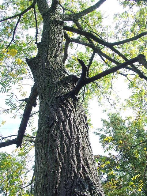 the-driveway-black-walnut