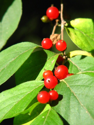 bush honeysuckle berries