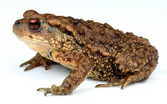 Asiatic Toad (Bufo gargarizans, Bufonidae) (John Horstman (itchydogimages, SINOBUG)) Tags: macro amphibians toad china itchydogimages herpetology reddit tumblr lightbox onwhite bufonidae top