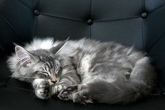 Ethan in his favorite chair (Dorthe Arve Olsen) Tags: animal cat denmark mainecoon forestcat abigfave