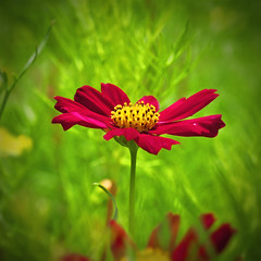 red cosmos flower (e.nhan) Tags: light red flower art nature closeup colours dof bokeh cosmos backlighting enhan