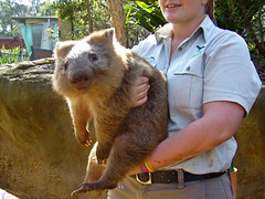 Wombat, he is 11 month old and not yet grown full size (Muchan5) Tags: animal animals lumix zoo sydney australia wombat tarongazoo mygearandme mygearandmepremium mygearandmebronze mygearandmesilver mygearandmegold mygearandmeplatinum mygearandmediamond