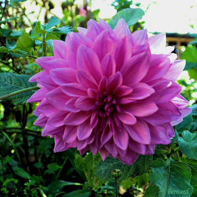 SGM_Dalhia rose.r