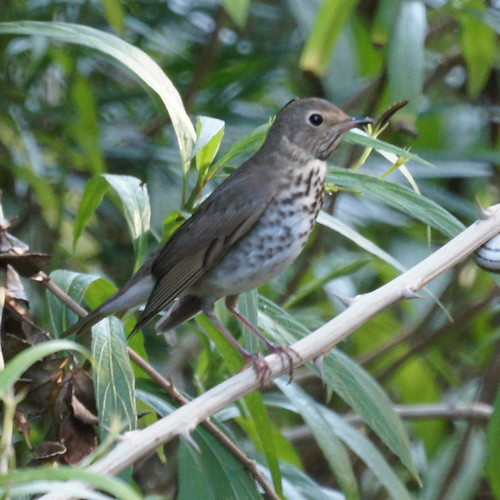 Louisiana Water Thrush