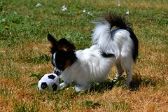 Maxx playing (Pappup2010) Tags: dog pet white black cute animal puppy play small tan ears canine papillon pup pap toybreed butterflydog