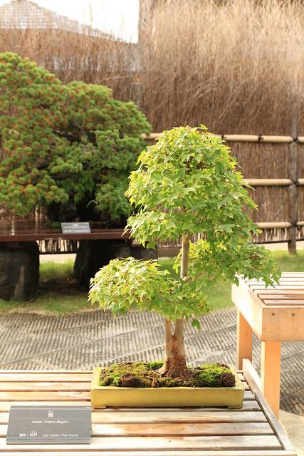 楓 Kaede (Trident Maple) - 盆栽美術館 - bonsai museum