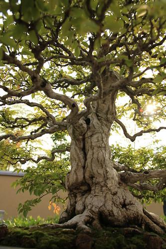 いわしで Iwashide (Korean Hornbeam) - 盆栽美術館 - bonsai museum
