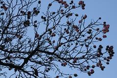 Frchte der Weidorn-Art crataegus pinnatifida; Lingen, Strootstrae (6) (Chironius) Tags: lingen emsland germany deutschland niedersachsen allemagne alemania germania   baum bume tree trees arbre  rbol arbres  rboles albero  rvore aa boom trd frucht gegenlicht fruit frutta owoc fruta  frukt meyve    buah crataegus rosids fabids rosales rosenartige rosaceae rosengewchse rosoideae pyreae kernobstgewchse pyrinae weisdorn silhouette