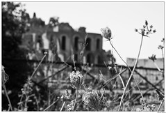 Wildlowers in the ruins (ritchiewong) Tags: italy rome 2007 ritchiewong