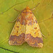 2272 Barred Sallow (Xanthia aurago)