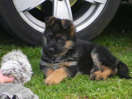 german shepherd neutering neutering age german shepherd dog forums 6403