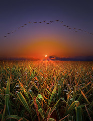 Harvest Migration (Phil~Koch) Tags: morning flowers blue sunset red sun green love floral field vertical wisconsin clouds sunrise photography landscapes spring twilight peace earth farm natur scenic meadow inspired naturallight farmland serene agriculture inspirational horizons environement photocontesttnc11 philkoch myhorizonart