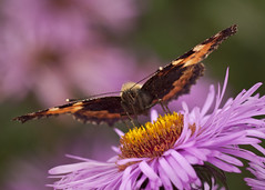 Spread [Explored] (John de Grooth) Tags: copyright butterfly ngc explore papillon atalanta aster vlinder copyrighted explored johndegrooth wwwjohndegroothnl