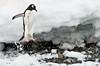 Penguin jump (Kylefoto) Tags: snow fall ice penguin jump gentoo antarctica