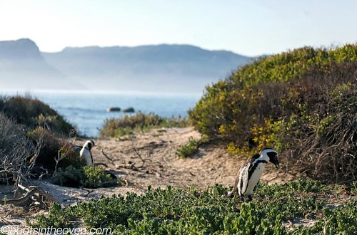 Yes, those are penguins in Africa.