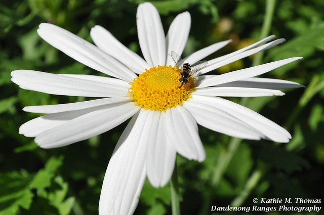 Daisy and Hover Fly