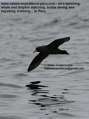White-chinned petrel Birding Peru (4) (Nature Expedtions 07) Tags: ocean trip sea vacation bird peru nature islands marine holidays tour lima birding reserve stefan national oceanbirds trips guide seabirds paracas pelagic ballestas ballestasislands petrel expeditions pucusana marinebirds birdguide procellariidae pelagicbirds whitechinnedpetrel procellaria procellariaaequinoctialis pelagicbirding aequinoctialis whitechinned nationalreserveofparacas natureexpeditions birdinginperu austermhle birdingperu birdinginlima marinebirdsofperu oceanbirdsofperu pelagicbirdsofperu petrelsofperu