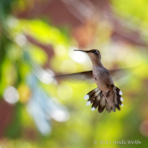 Red-throated hummingbird by andiwolfe