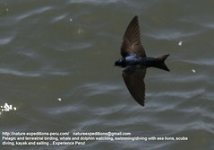 Blue and white swallow - Birding in Peru (1) (Nature Expedtions 07) Tags: trip blue vacation urban bird peru nature holidays tour lima birding stefan trips puertoviejo guide swallow wetland blueandwhite sanisidro olivar expeditions cyanoleuca elolivar birdguide blueandwhiteswallow pantanosdevilla pygochelidoncyanoleuca pygochelidon natureexpeditions birdinginperu austermhle birdingperu birdinginlima pantanosdepuertoviejo