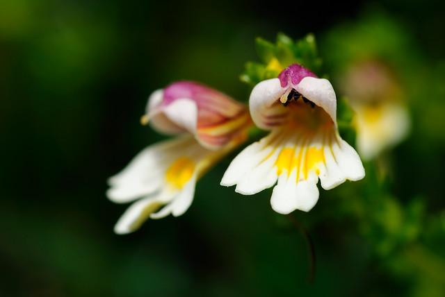 玉山小米草 Euphrasia transmorrisonensis