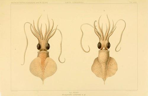 018-Die Cephalopoden 1910- Carl Chun