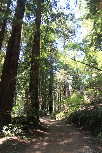 Unpaved trail in the deep forest of Muir Woods, San Francisco