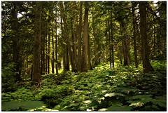 Cedar Forest (Stella Blu) Tags: stella trees canada tree green forest bc blu britishcolumbia redcedar westernhemlock twothumbsup bigmomma mountrevelstoke nikkor1855 mountrevelstokenationalpark challengeyouwinner a3b challengegamewinner nikond300 friendlychallenges herowinner storybookwinner pregamewinner gamesweepwinner