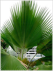 Gorgeous fronds of Pritchardia pacifica (Fiji/Pacific Fan Palm), Sept 20 2011
