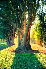 Fig trees in afternoon sunlight (Hopeisland) Tags: plant tree nature garden gold coast fig australia botanic